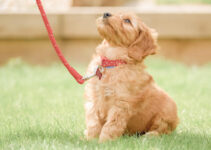 6 Facts About Goldendoodles you Need to Know Before Buying in 2021
