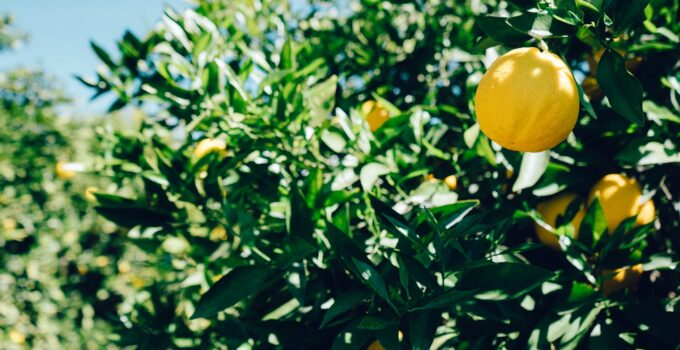 When & How To Properly Prune A Lemon Tree – 2021 Guide