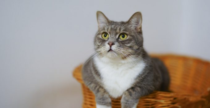 How to Keep Your Cat Happy & Healthy Indoors?