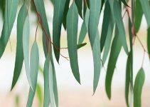 What's the Difference Between Malagueta and Eucalyptus?