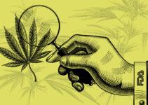 Useful Cannabis Properties Pique Interest of FDA